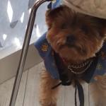 [第267回]MIWAの愛犬 キナコ豚になる